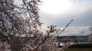 まだ桜咲いてる東北です。